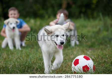 Boys play with malamutes puppies; Outdoor portrait - stock photo