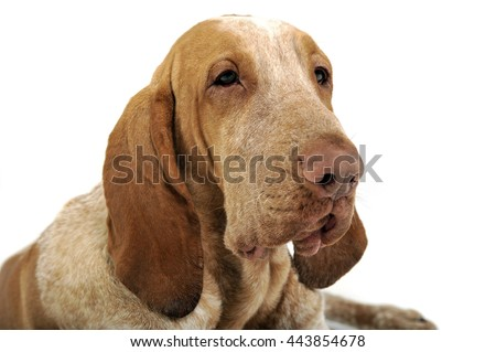 Bracco italiano portrait in a white background - stock photo
