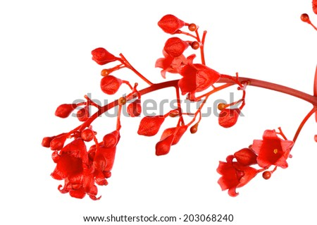 Brachychiton acerifolius or Illawarra Flame Tree flower on white background - stock photo
