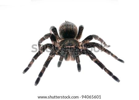 Brachypelma albopilosum, bird-eater spider isolated on white - stock photo