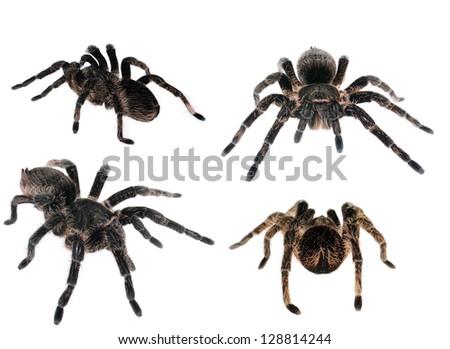 brachypelma albopilosum spider isolated on white collage - stock photo