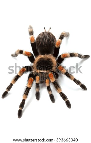 Brachypelma smithi or Mexican redknee tarantula, close up isolated on white background - stock photo