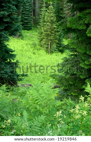Bracken fern meadow in the Oregon cascades.