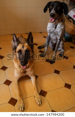 Braco and Belgian Shepherd Dog