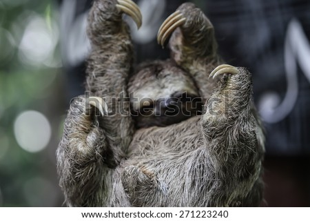 Bradypus,a very slow animal  in amazon jungle - stock photo