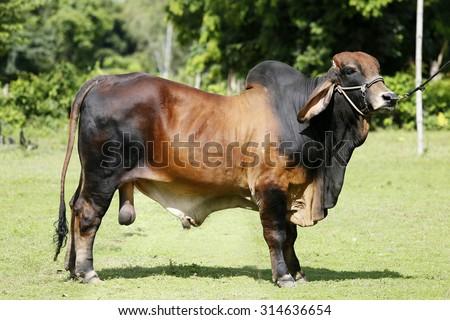 Brahman cattle - stock photo