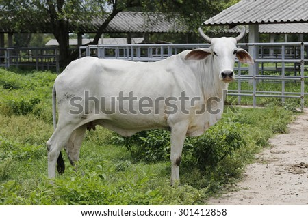 Brahman cow at a cattle farm or ranch - stock photo