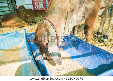 Brahman cow eat food in cage,korat,thailand - stock photo