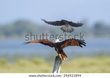Brahminy kite attack by crow in Pottuvil, Sri Lanka ; specie Haliastur indus  - stock photo