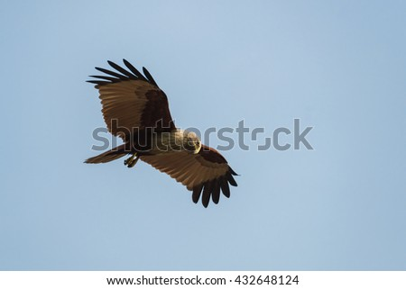 Brahminy kite flying and watching on the blue sky background. - stock photo