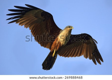 Brahminy kite flying in the air - stock photo