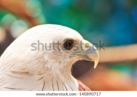 Brahminy Kite (Haliastur indus) stand on the branch