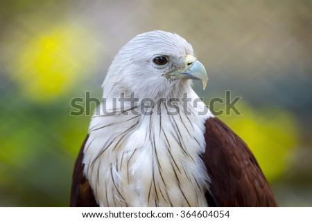 Brahminy kite hawk bird from Thailand close up - stock photo