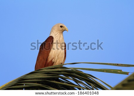 Brahminy kite on a palm tree. India, Kerala - stock photo