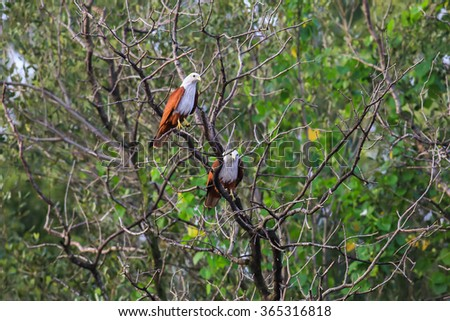 Brahminy Kite on the top of tree. Sea-eagle at the nature - stock photo