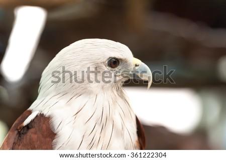 Brahminy Kite Red backed sea eagle Haliastur indus Headshot  - stock photo