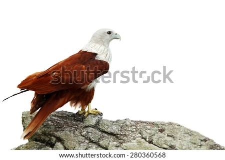Brahminy Kite (Red-backed Sea Eagle) on the rocks isolated on white background - stock photo