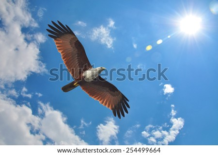 Brahminy Kite showing wing spread on sky and sun background
