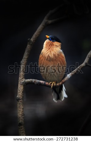 Brahminy starling with dark background - stock photo