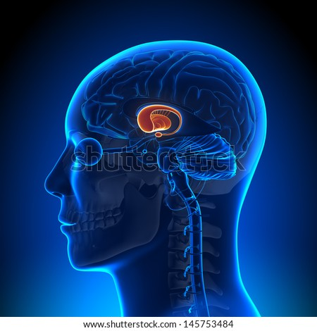 Brain Anatomy - Basal Ganglia - stock photo