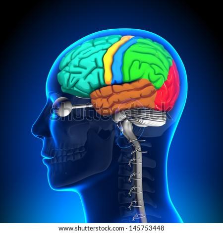 Brain Anatomy - Color parts - stock photo