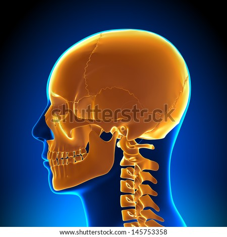 Brain Anatomy - Highlighted Skull - stock photo
