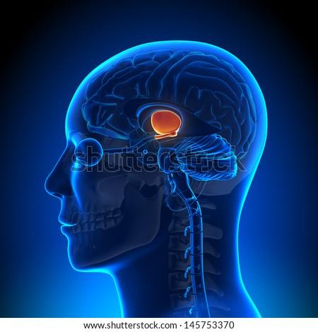 Brain Anatomy - Hypothalamus - stock photo