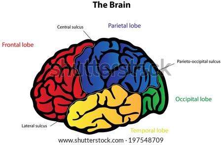 Brain Anatomy Labeled Diagram Stock Illustration 197548709 ...