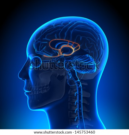 Brain Anatomy - Limbic System - stock photo