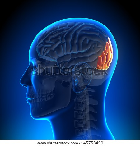Brain Anatomy - Occipital lobe - stock photo