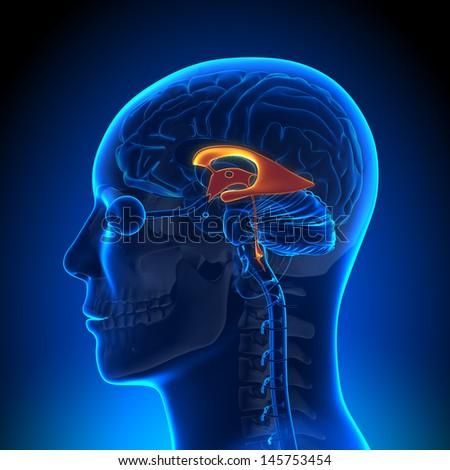 Brain Anatomy - Ventricles - stock photo