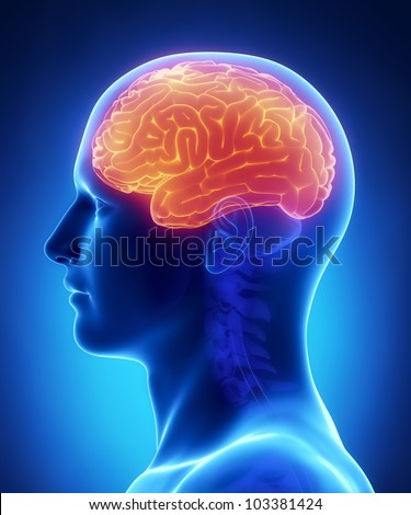 Brain CEREBRUM anatomy - cross section - stock photo