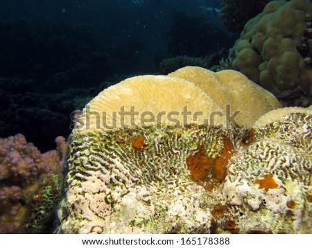 Brain coral live and dead - stock photo