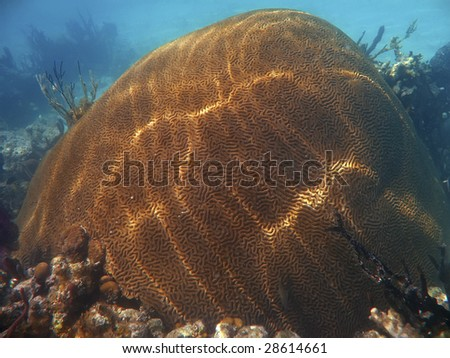 Brain coral off the Galapagos Islands - stock photo