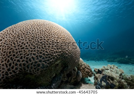 Brain coral taken in the Red Sea - stock photo