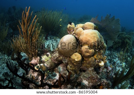 Brain coral with star coral