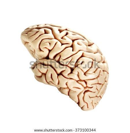 brain isolated on white - stock photo