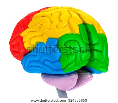 Brain lobes in different colors. Isolated on white. - stock photo