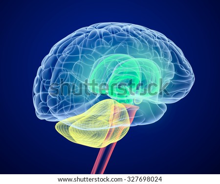Brain lobes in different colors. X-Ray view. - stock photo