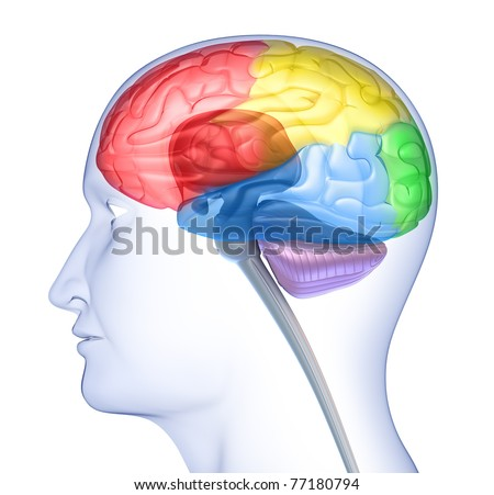 Brain lobes in head silhouette isolated on white - stock photo