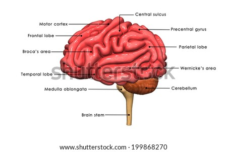 Brain side - stock photo