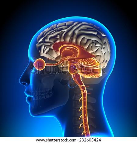 Brain Stem / Cerebellum / Optical Nerve / Female Brain Anatomy - stock photo