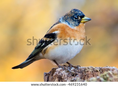 Brambling on a tree stump
