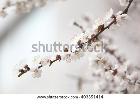 Branch apricot tree with white flowers in spring blossom. Selective focus with shallow depth of field - stock photo