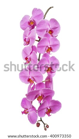 Branch blooming orchids, isolated on white background