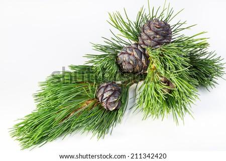 branch cedar nuts - stock photo