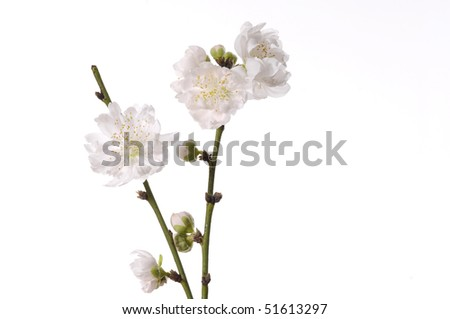 Branch cherry Blossom