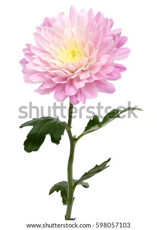 branch chrysanthemum flower isolated on white