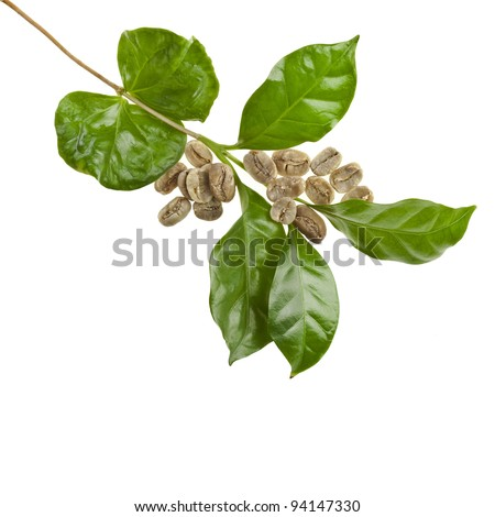 branch coffee tree decor , Isolated on white background - stock photo