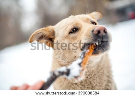 Branch eating homeless dog portrait - stock photo